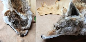 Roadkill coyote before and after by lupagreenwolf