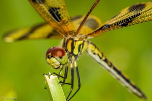 Dragonfly macro cross wings by LordMajestros