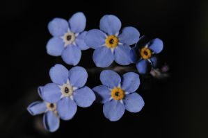 Forget-me-nots by WestLothian
