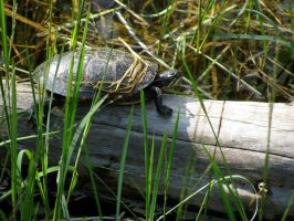 Tortue peinte by Snyki