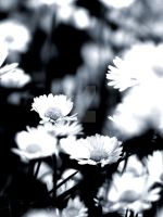 Remembering daisies by Tricia-Danby