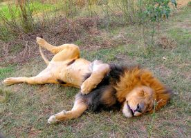 Lazy Lion Gauteng SA II by Jenvanw