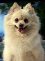 Pommie the Pomeranian by blondepassion