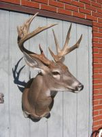 New Jersey Whitetail by MovingSkin13
