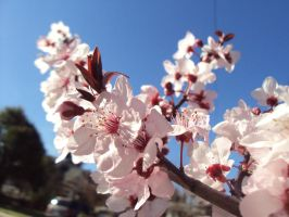 Cherry Blossoms by AngelSaphireBlue