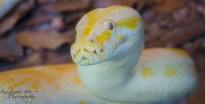 Typical Python Style Puppyface by Indefinitefotography