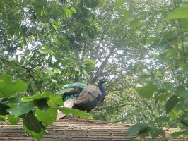peacock on a roof by artisLove11