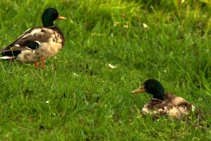 Two ducks in the grass by steppelandstock
