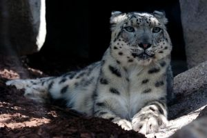 Snow Panther 6_ stock img by sekhmet-stock