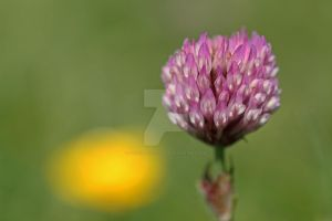 Red clover and a touch of buttercup... by clochartist-photo