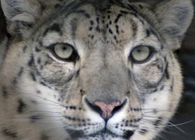 Snow Leopard Face by Vertor