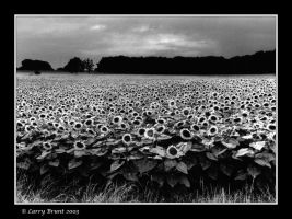 Sunflowers in France by inessentialstuff