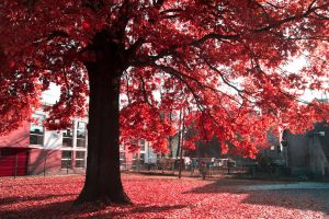 Redtree by asia1573