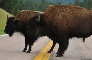 Buffalo Roadblock by nescio17