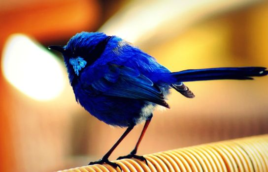Blue Wren by SarahStar123