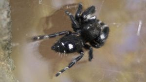 The Daring Jumping Spider (Phidippus audax) by sankyaku