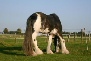Clydesdale Sabino Gelding Grazing by LuDa-Stock