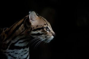 .ocelot. by onejumpjohnny