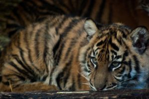 Cute Tiger Cub by DanielleMiner