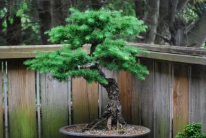 Bonsai Stock 6 by chamberstock