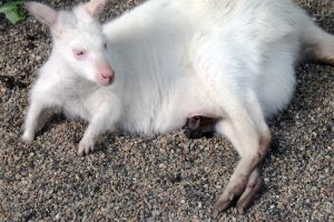 Albino Wallaby and Baby Wallaby by Anonimus79