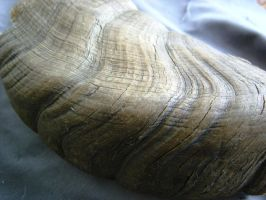 Dall sheep horn 1 by Arctic-Stock