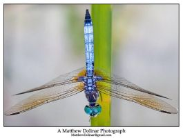 Resting Dragonfly by GetMadBaby