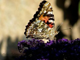 Painted Lady... by Michies-Photographyy