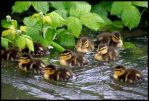 little quackers ... by chrisntheboat
