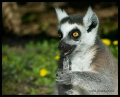 lemur: get mad by morho
