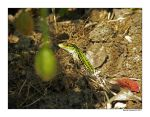 wall lizard 2 by pitto