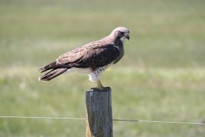Swainson's Hawk - Walden Colorado by Shadow848327