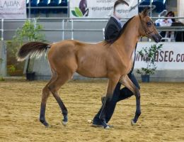 STOCK - 2014 Arabian Gala-50 by fillyrox