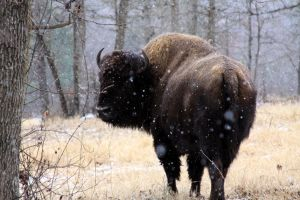 Bison in the Snow by Rauvlochar
