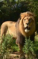 Attention Paid by a Lion by FicktionPhotography