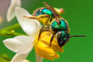 Sweat Bee by ribbonworm