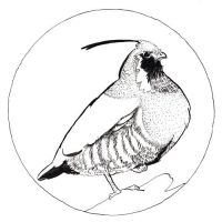 Inktober 6th Mountain Quail by Theriona
