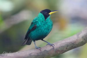 Green HoneyCreeper by AppleLily