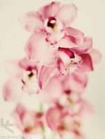 orchids by andrewfphoto