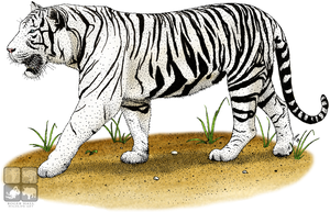 White Tiger by rogerdhall