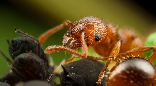 Ant Farming Aphids by Alliec