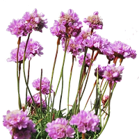 Sea Thrift PNG.. by WelshDragonStockNArt