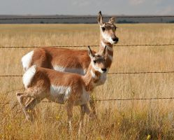 Pronghorn Mother and Fawn by Ironpaw