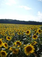 Sunflowers 1 by Stock-gallery