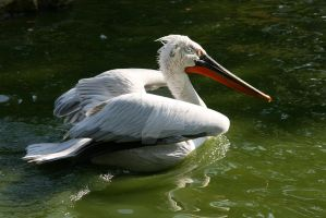pelican by Tribolonotus