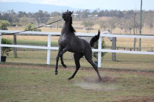 Black yearling stock Rear by xxMysteryStockxx