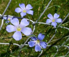 Little Blue flowers by Prism-of-colors