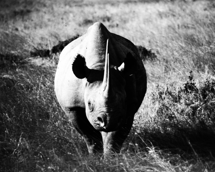 That rhino is coming closer by oliverodb