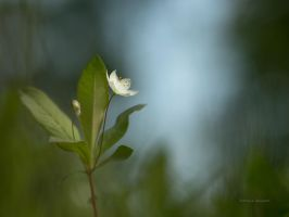 A Chickweed at the forest glade by roisabborrar