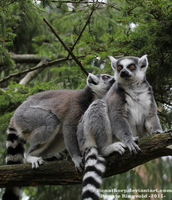Ring-Tailed Lemur by Renathory